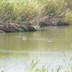 Foto Patos en el Río Jarama 2