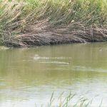 Foto Patos en el Río Jarama 3