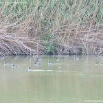 Foto Patos en el Río Jarama 4