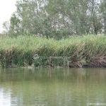 Foto Patos en el Río Jarama 5