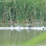 Foto Patos en el Río Jarama 6