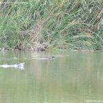 Foto Patos en el Río Jarama 7