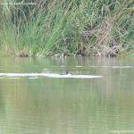 Foto Patos en el Río Jarama 8
